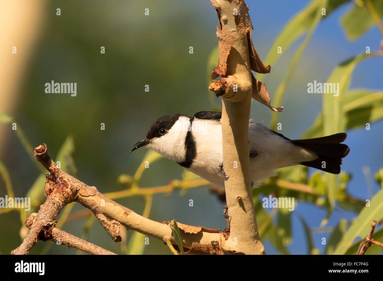 Banded Honeyeater (Cissomela pectoralis) - Stock Image