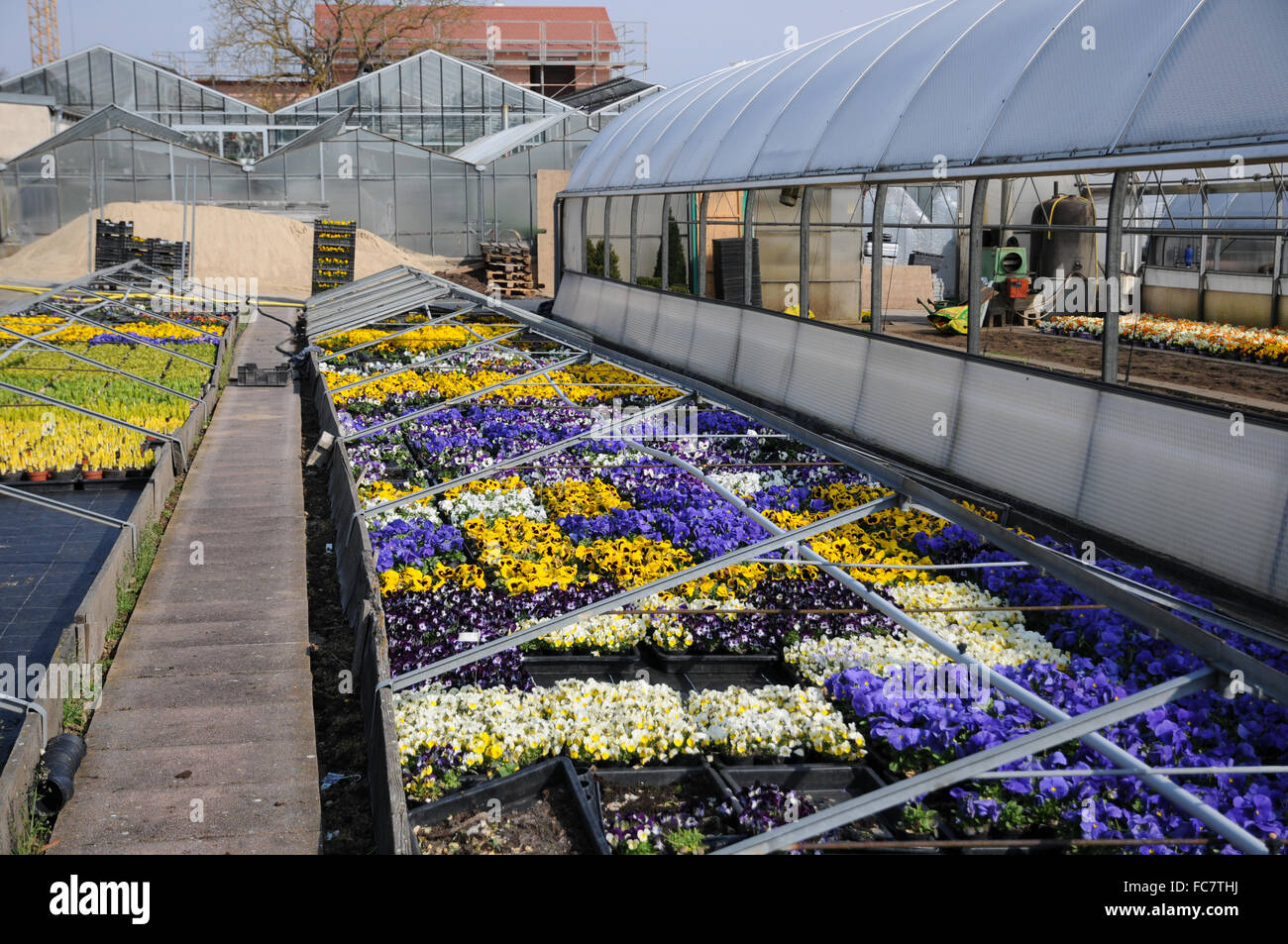 Pansies in nursery - Stock Image
