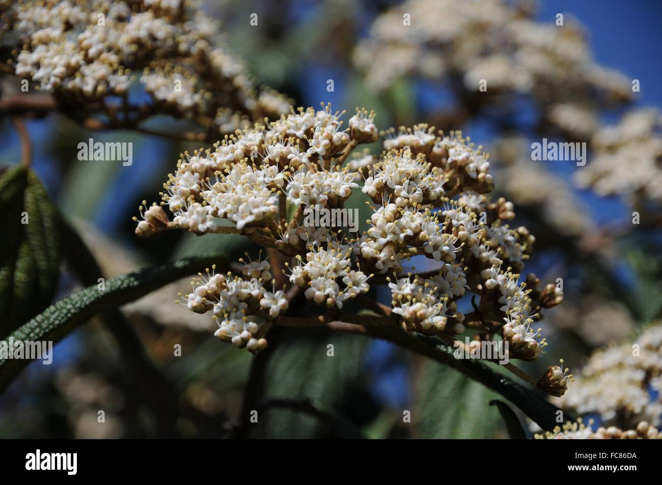 Leatherleaf viburnum - Stock Image