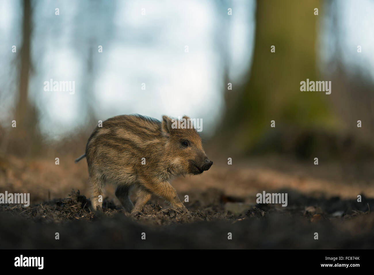 Wild Boar ( Sus scrofa ), piglet, striped fur, on its way through a natural beech forest, low point of view, Germany. - Stock Image