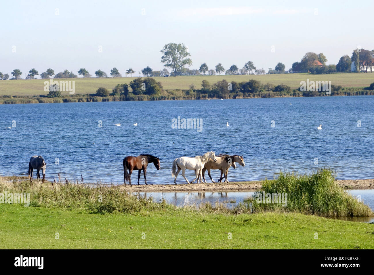 horses in the Bay of Wismar,germany Stock Photo