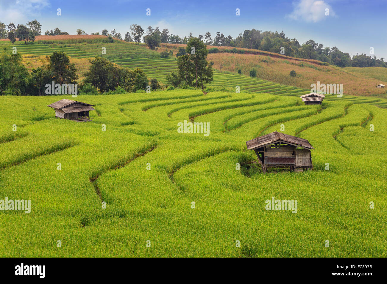 The rice fields in the country of Thailand - Stock Image