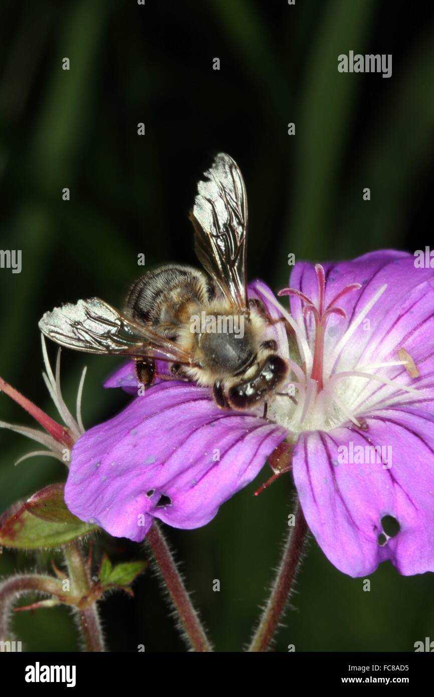 The flowers of the meadow geraniums (Geranium pratense L.) are often visited by honeybees (Apis mellifera) and solitary - Stock Image