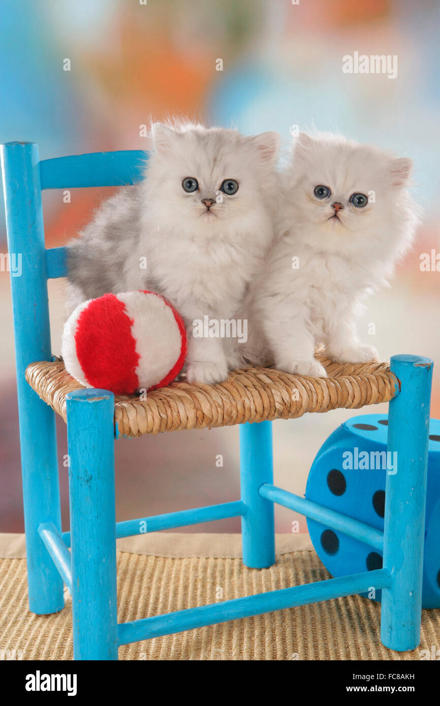 Persian Cat  Pair of white kittens on a blue chair next to ball and
