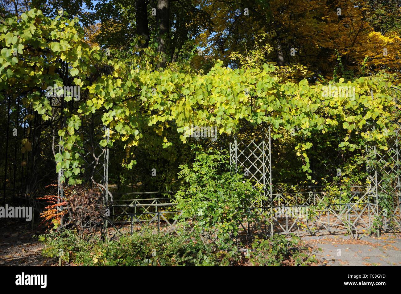 Fox grape Stock Photo