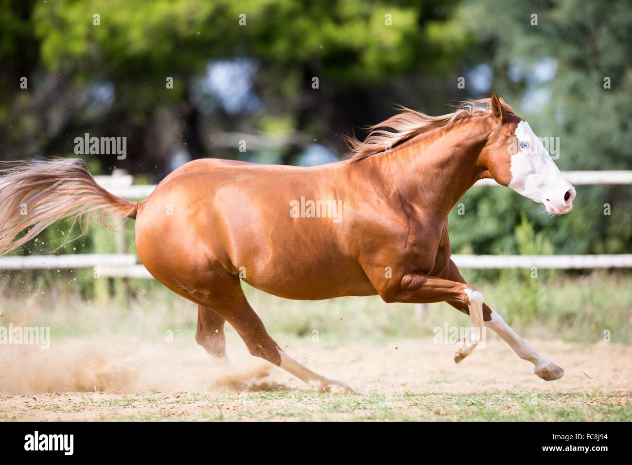 American Paint Horse Chestnut Gelding Galloping In A Paddock Italy