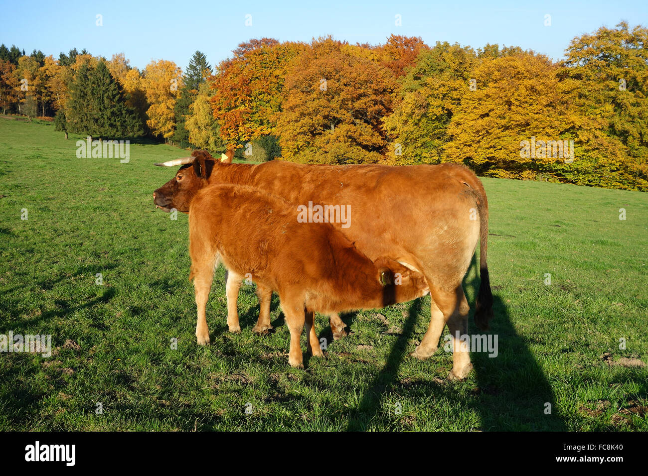 limousin cattle - Stock Image