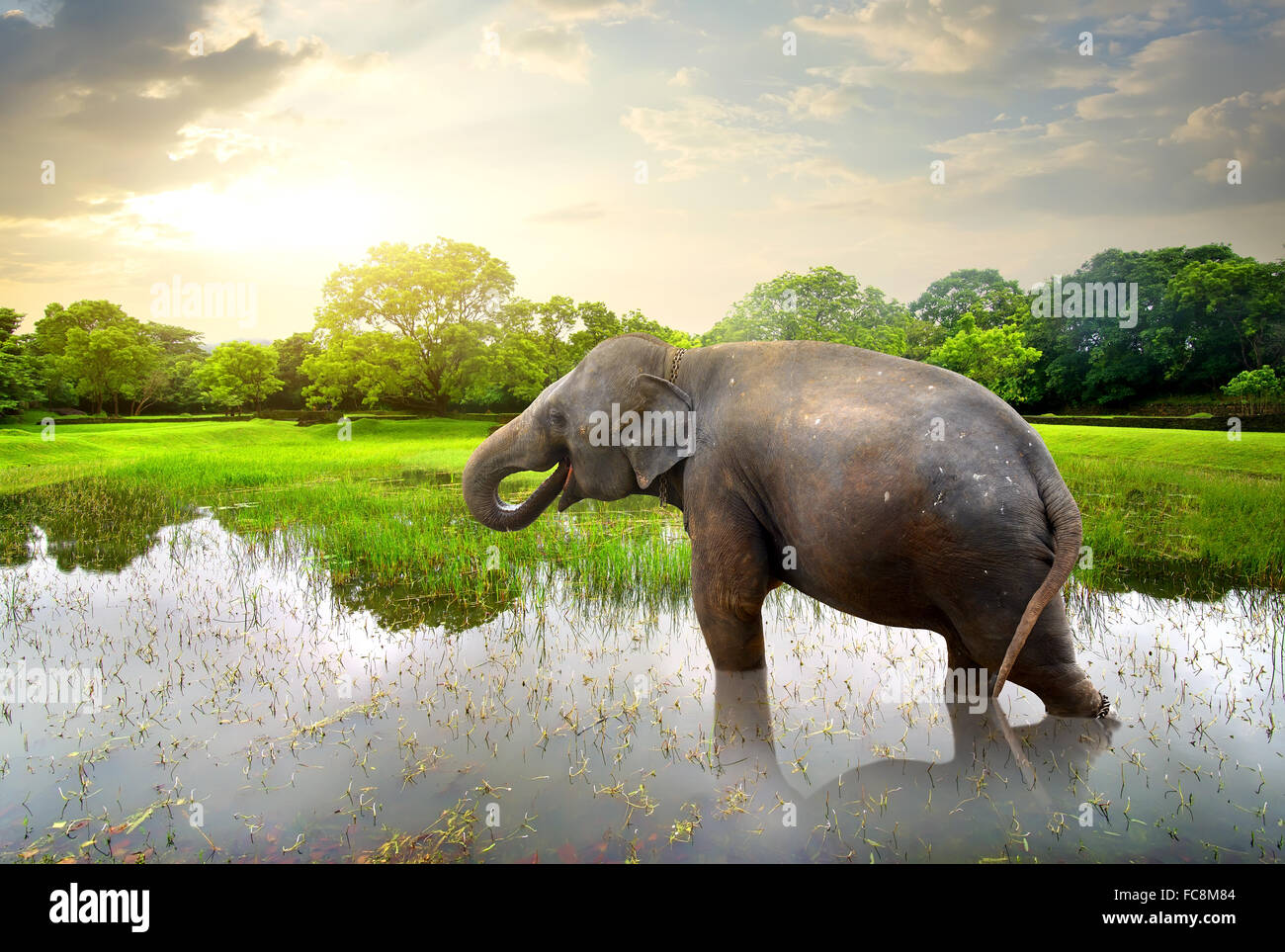 Elephant, bathing in lake near green trees - Stock Image
