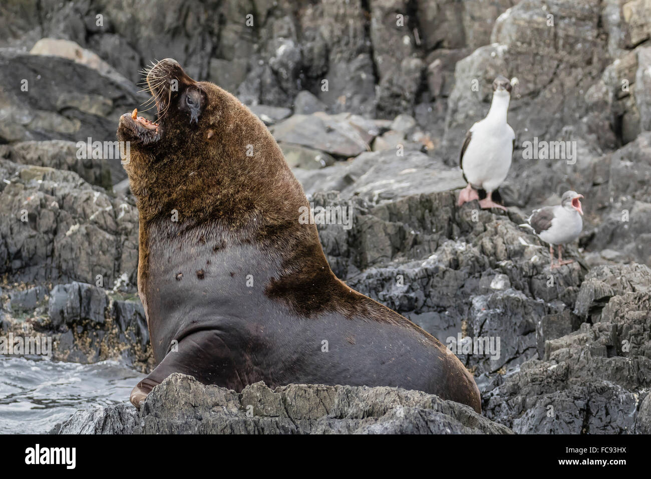 South American sea lion bull (Otaria flavescens) at breeding colony just outside Ushuaia, Beagle Channel, Argentina - Stock Image