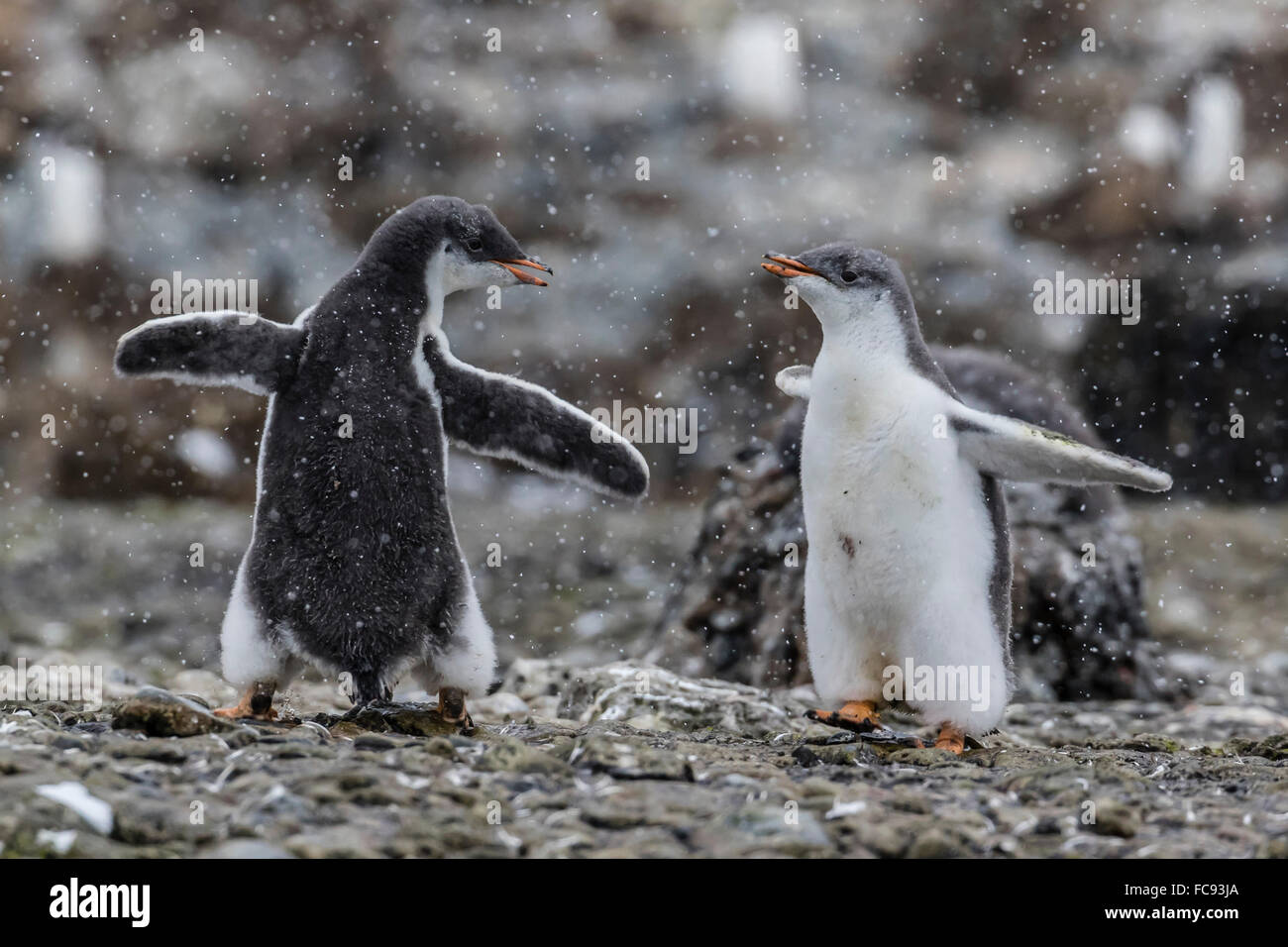 Gentoo penguin chicks (Pygoscelis papua) in ecstatic display at Brown Bluff, Antarctica, Polar Regions - Stock Image