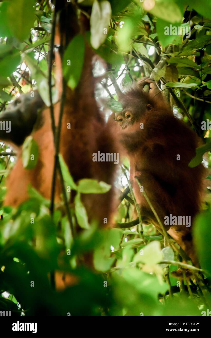 Wild Bornean orangutan (Pongo pygmaeus more) in natural habitat during weaning process. © Reynold Sumayku - Stock Image
