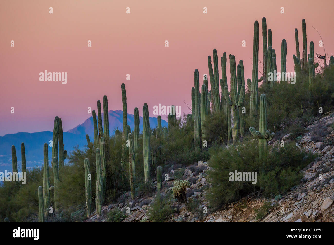 Giant saguaro cactus (Carnegiea gigantea), under full moon in the Catalina Mountains, Tucson, Arizona, United States Stock Photo