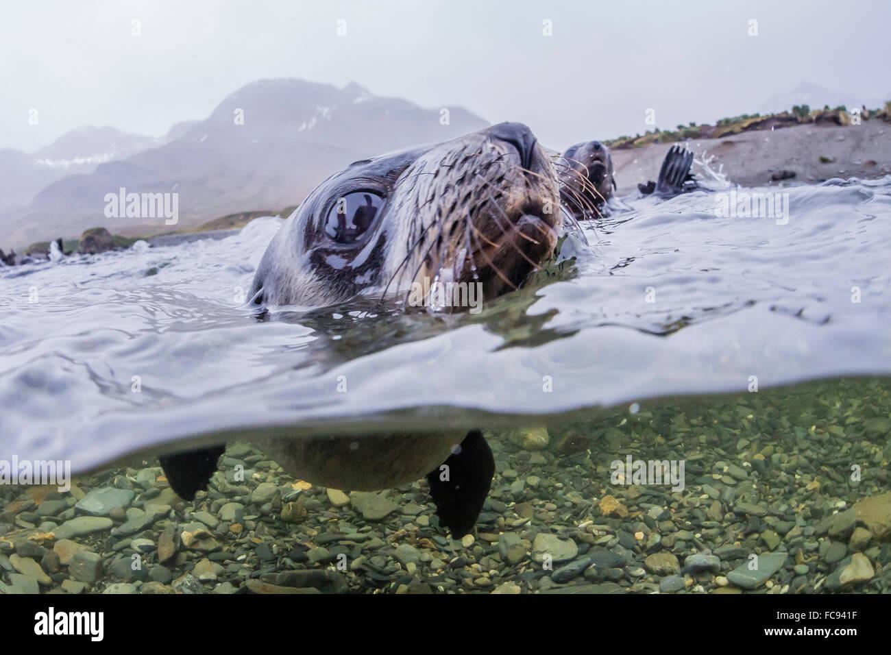 Antarctica Fur Seal Pup Arctocephalus Gazella Above And Below Underwater In Husvik Bay South Georgia Polar Regions