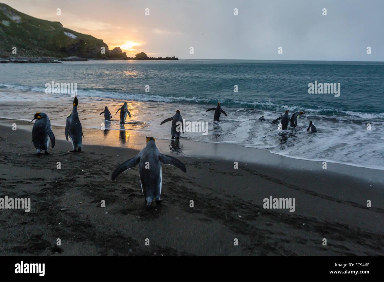King penguins (Aptenodytes patagonicus) returning to the sea at sunrise at Gold Harbour, South Georgia, Polar Regions - Stock Image