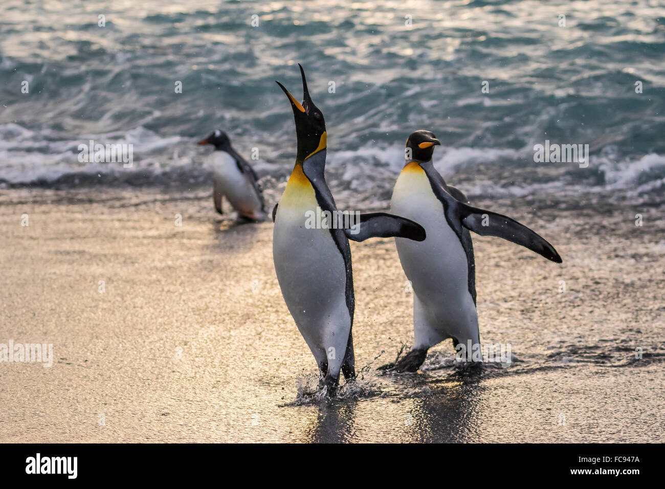 King penguins (Aptenodytes patagonicus) returning from the sea at Gold Harbour, South Georgia, Polar Regions - Stock Image
