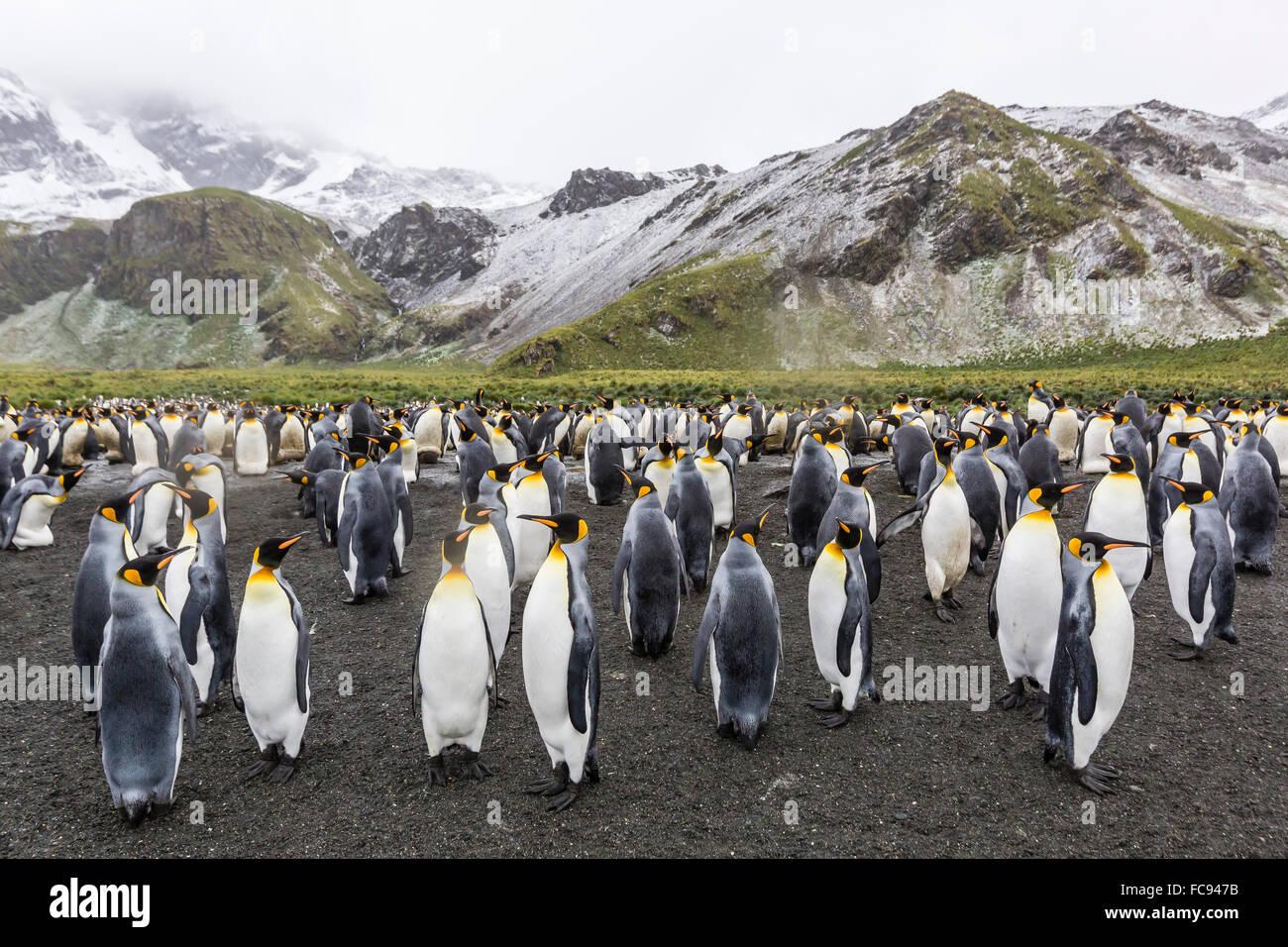 King penguins (Aptenodytes patagonicus), breeding colony at Gold Harbour, South Georgia, Polar Regions - Stock Image