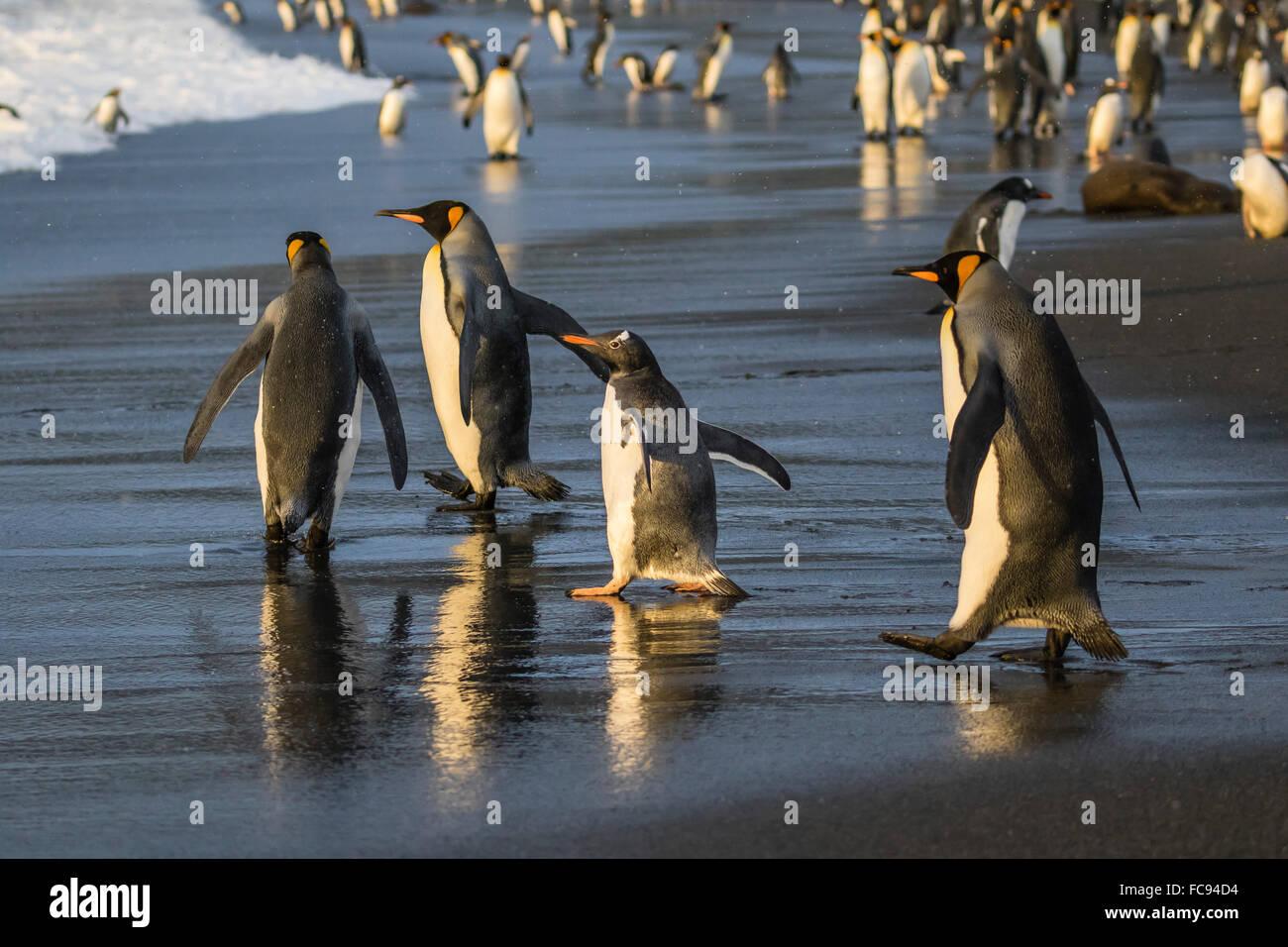 Gentoo penguin (Pygoscelis papua), amongst king penguins on the beach at Gold Harbour, South Georgia, Polar Regions - Stock Image