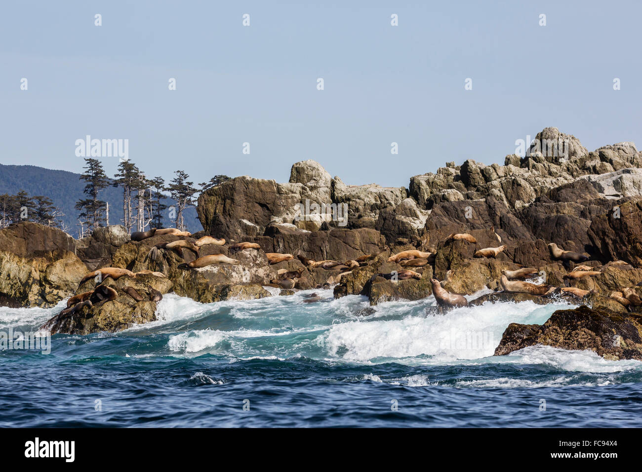 Steller sea lion haul out on S'Gang Gwaay Llanagaay, Anthony Island, Haida Gwaii (Charlotte Islands), British - Stock Image