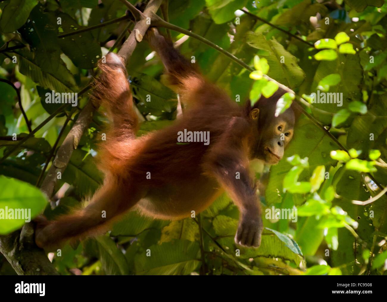 Young bornean orangutan (Pongo pygmaeus morio) in the wild. Kutai National Park, Indonesia. - Stock Image