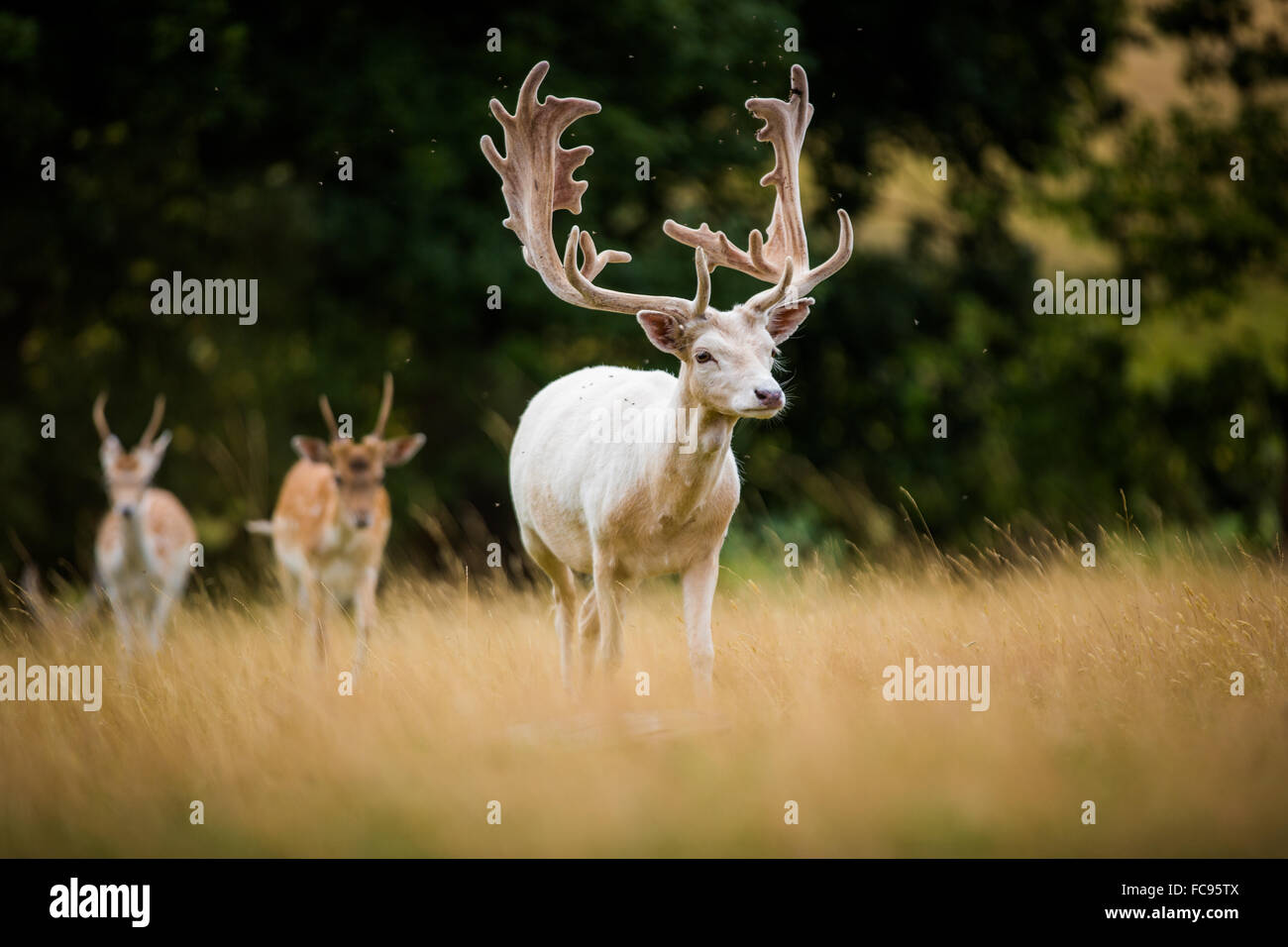 Deer, United Kingdom, Europe - Stock Image