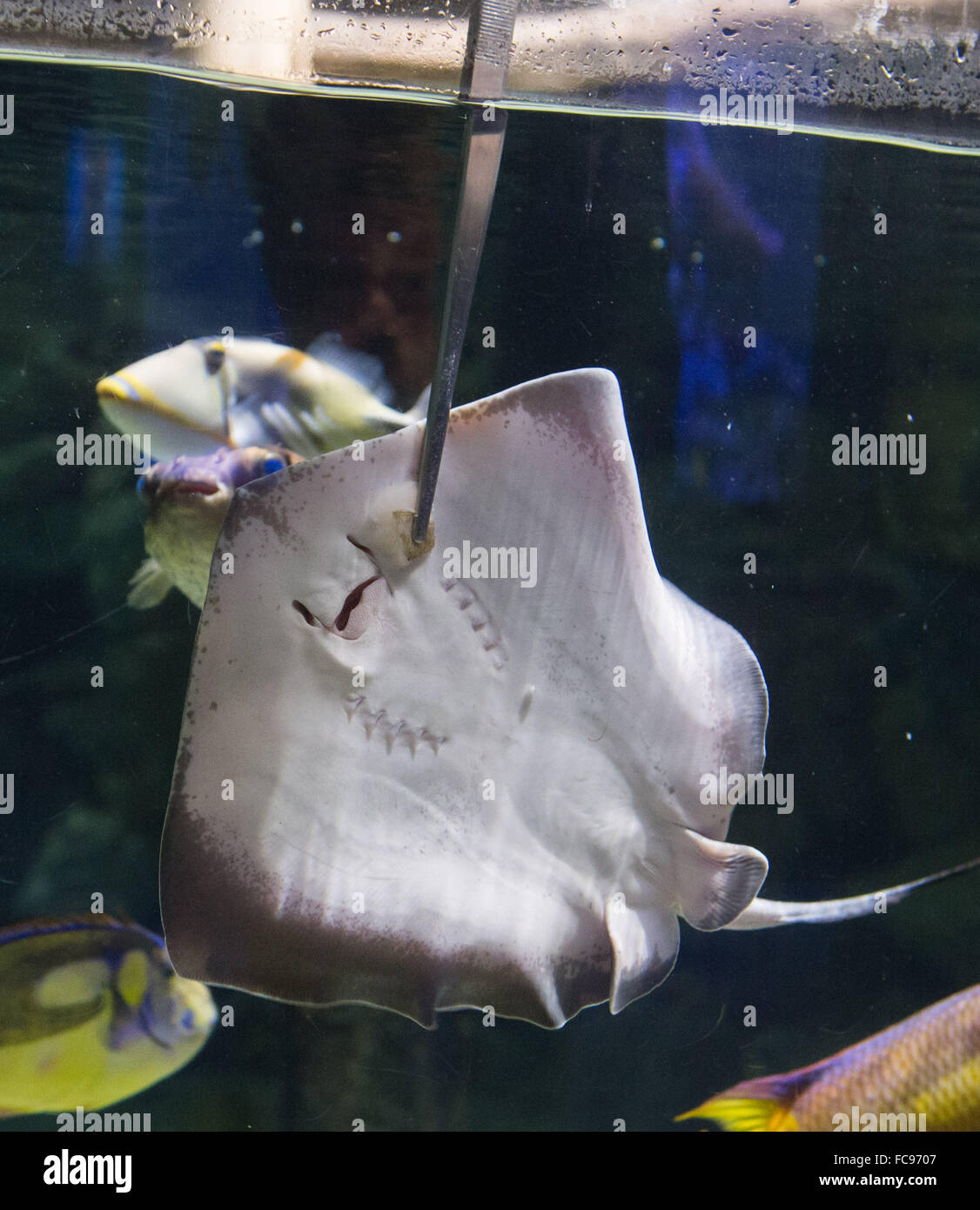 Hamburg, Germany. 21st Jan, 2016. An around six-months-old stingray swims gets fed in an aquarium in the Hagenbeck - Stock Image