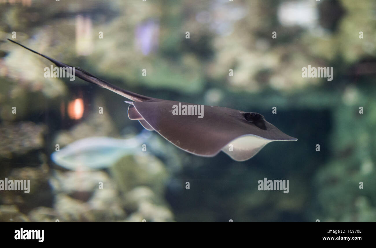 Hamburg, Germany. 21st Jan, 2016. An around six-months-old stingray swims in an aquarium in the Hagenbeck Zoo in - Stock Image