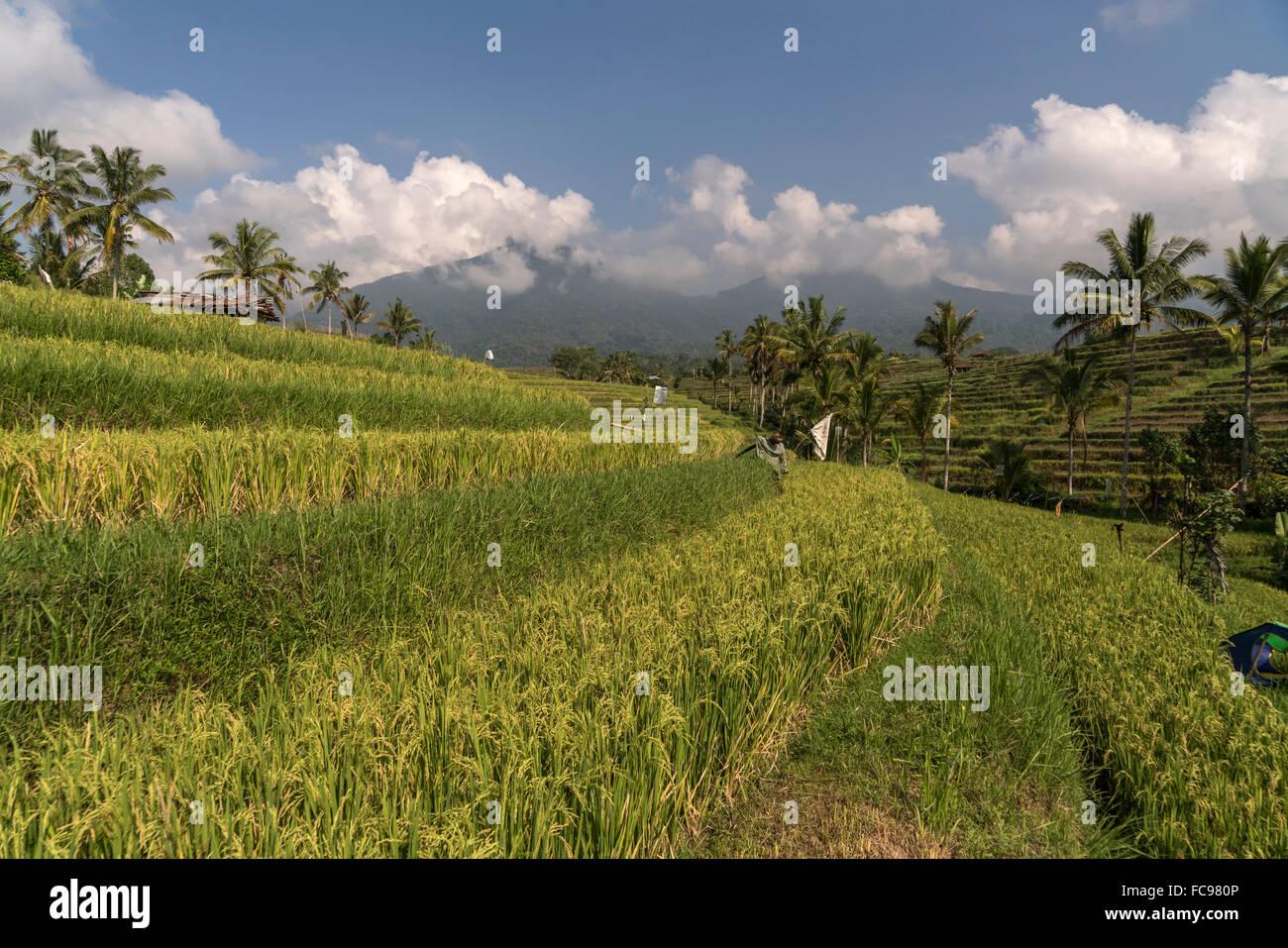 the Jatiluwih Rice Terraces, UNESCO world heritage on Bali, Indonesia - Stock Image