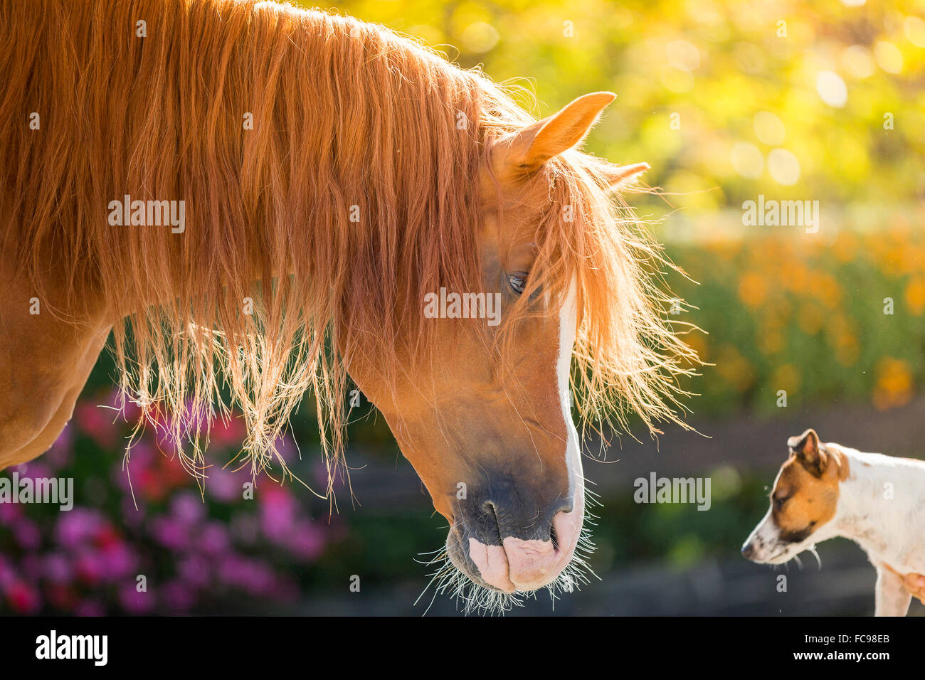 Arabian Horse. Jack Russell Terriers and chestnut stallion eye to eye in a paddock. Austria - Stock Image