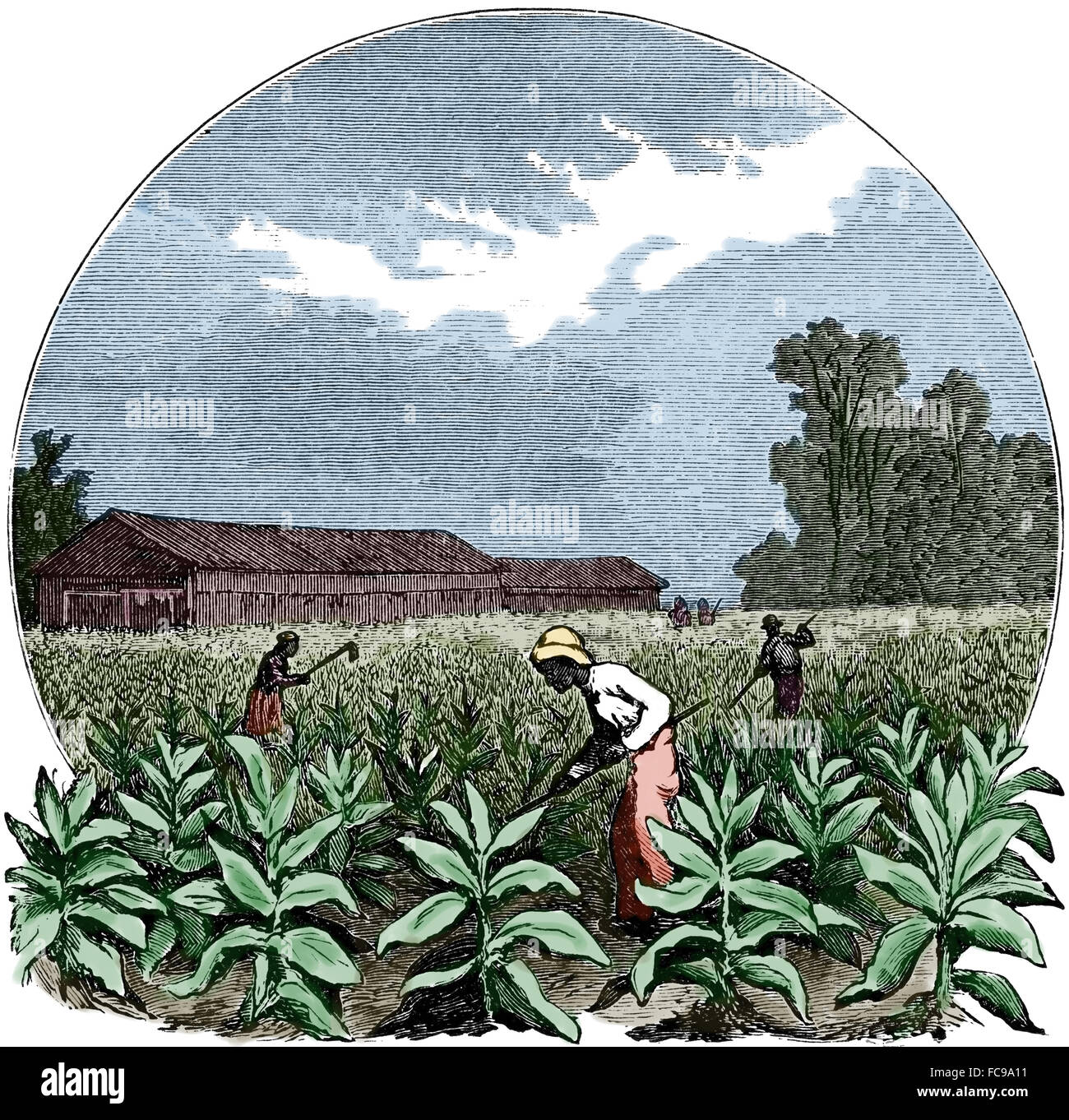 North America. Harvesting to tobacco. Engraving, 1891. Color. - Stock Image