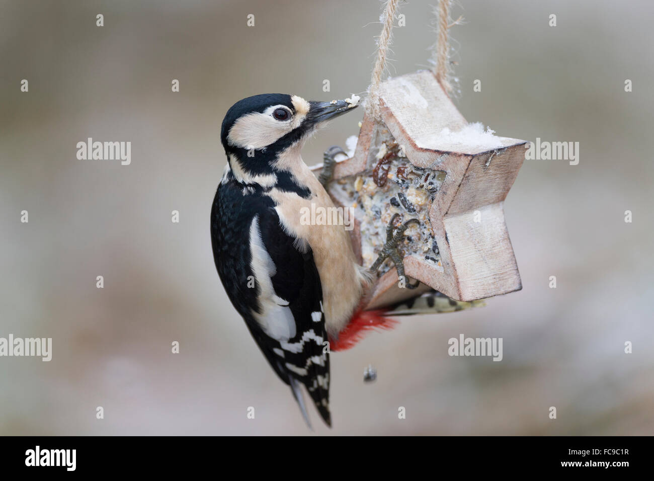 Great spotted woodpecker, bird's feeding, Buntspecht, Vogelfütterung, Fütterung, Dendrocopos major, - Stock Image