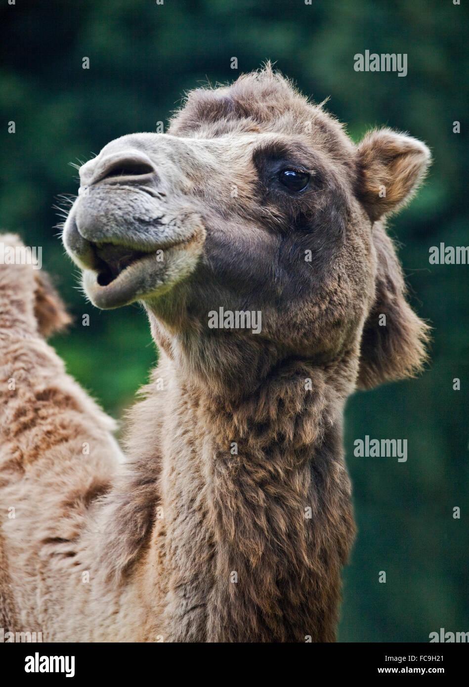 Bactrian Camel (camelus bactrianus) - Stock Image