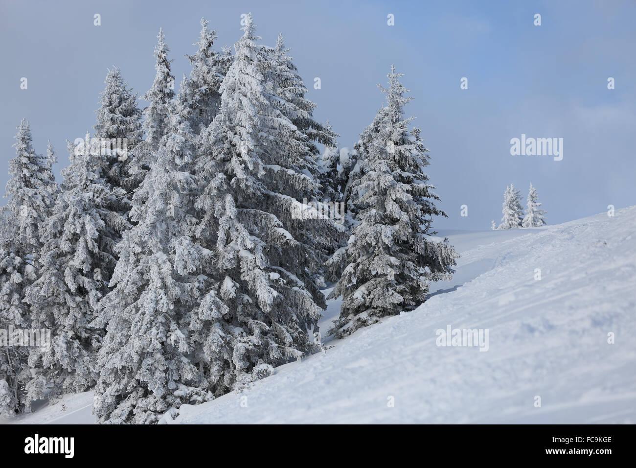 Snow covered trees, France, Port du Soleil - Stock Image