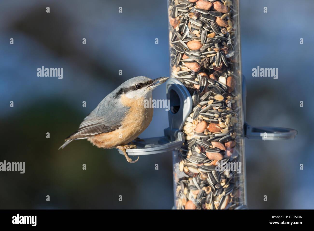 Nuthatch, bird's feeding, snow, Kleiber, Spechtmeise, Vogelfütterung, Winter, Schnee, Sitta europaea, Sittelle - Stock Image