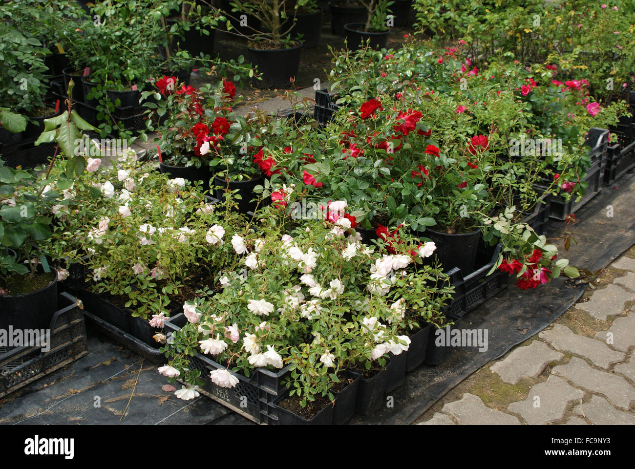 Ground cover roses in containers - Stock Image