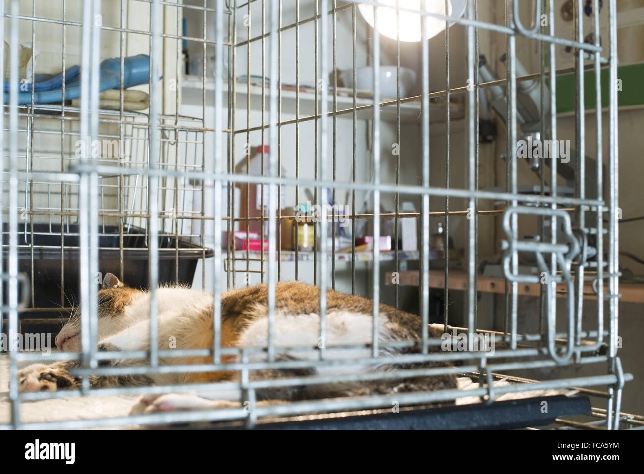 Cat at veterinary laboratory - Stock Image