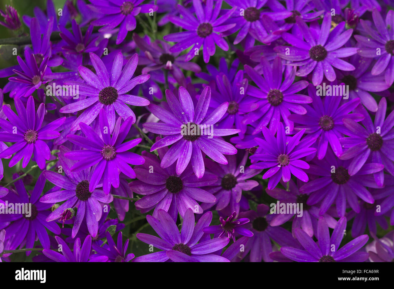 Purple Senetti Flowers - Stock Image