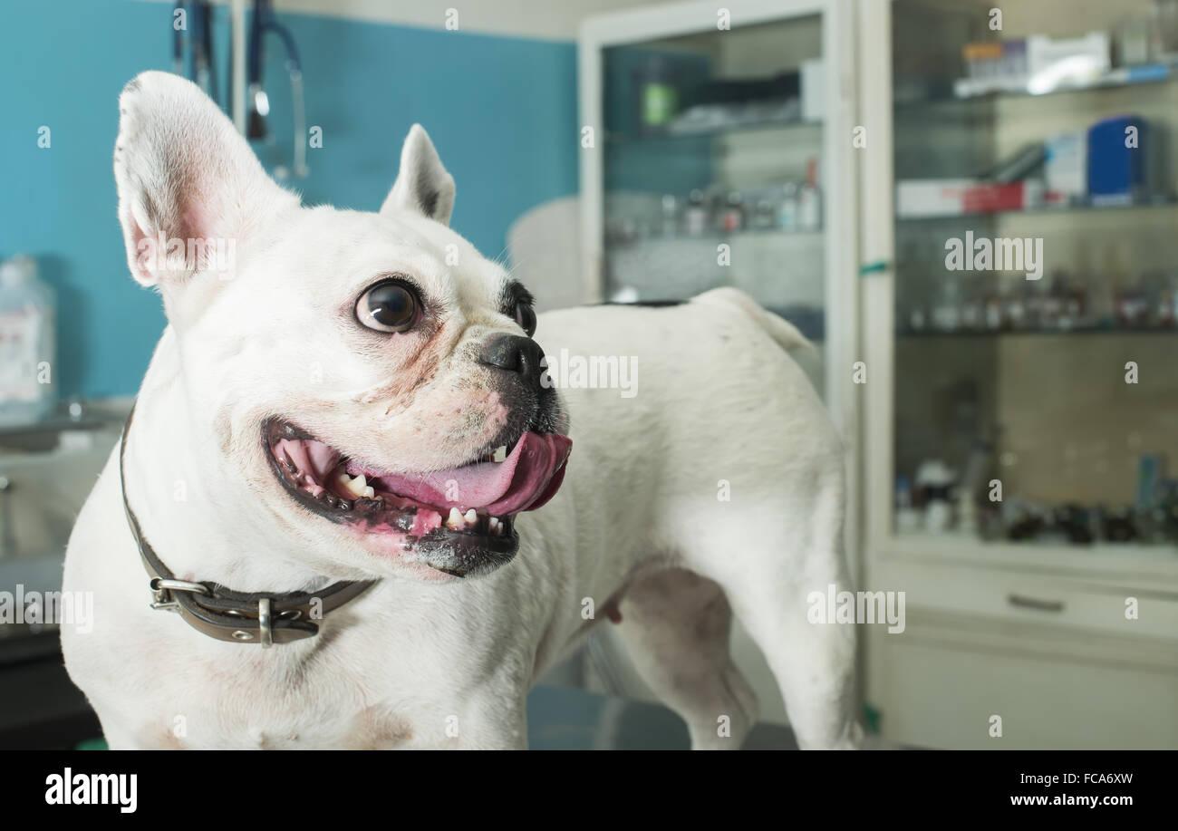 Dog in a veterinary office - Stock Image