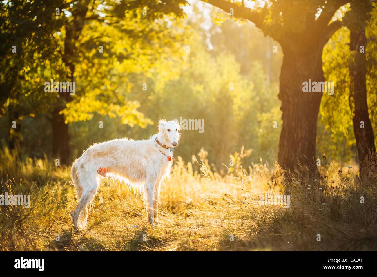 White Russian Dog, Borzoi, Hunting dog in Summer Sunset Sunrise Forest. - Stock Image