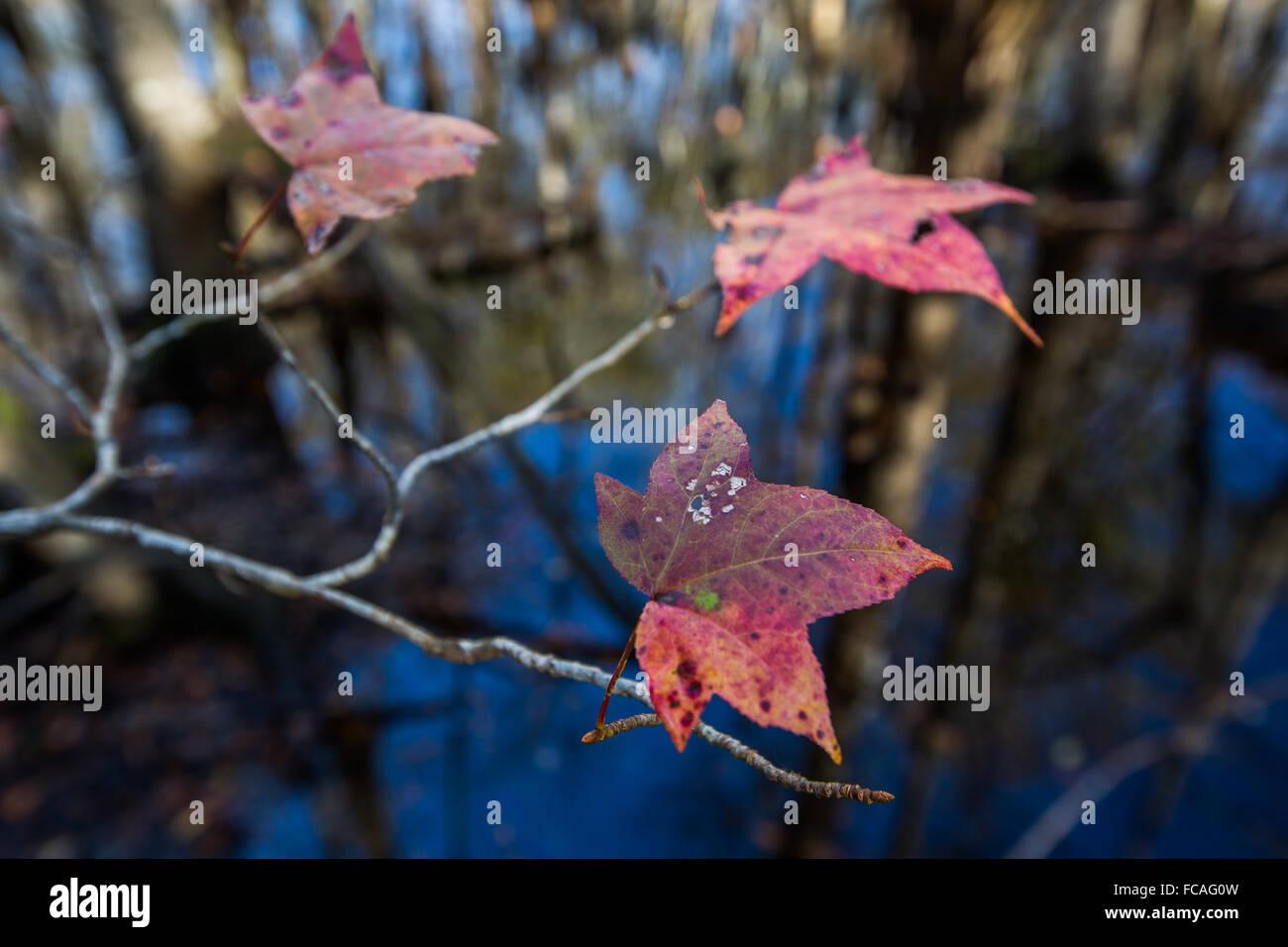 Sweet Gum leaves along boardwalk at Francis Beidler Forest. - Stock Image