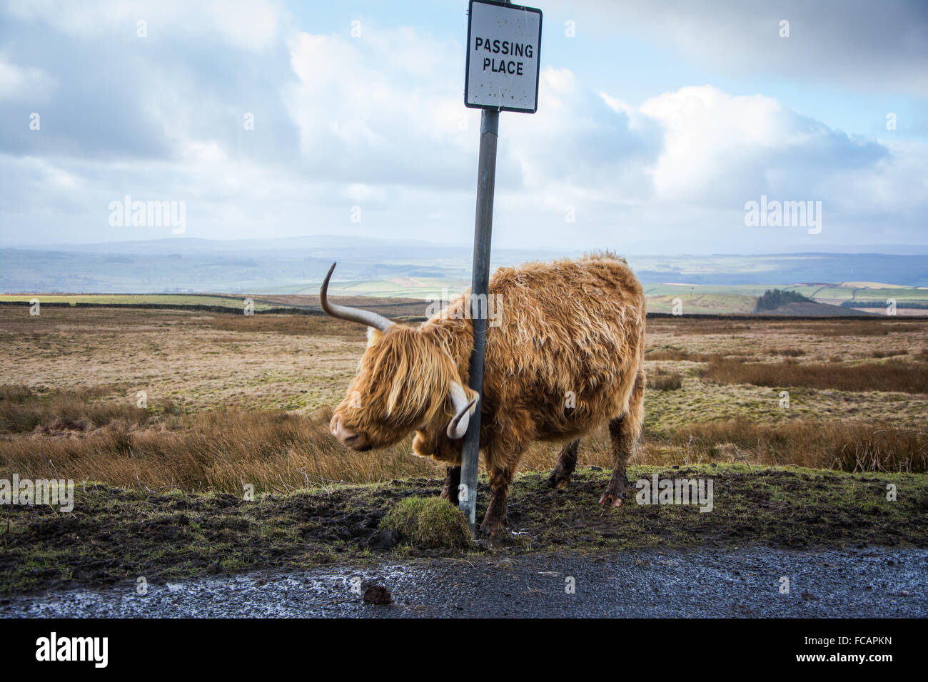 Highland Cow near Malham in the Yorkshire Dales - Stock Image