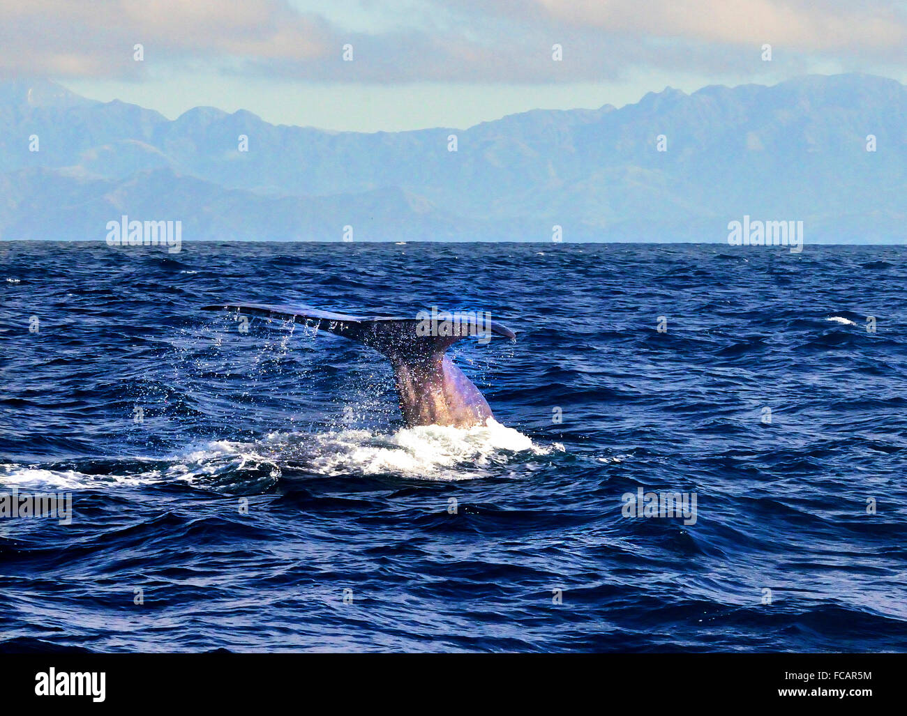 Tail fin of a Giant Sperm Whale  about to dive deep during Whale Watch tour in Kaikoura, East Coast, South Island, - Stock Image