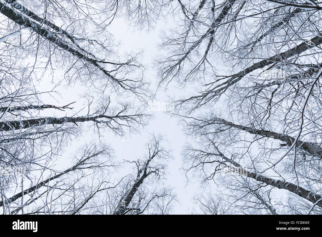 Snowy trees in a forest viewed from below in the winter. - Stock Image