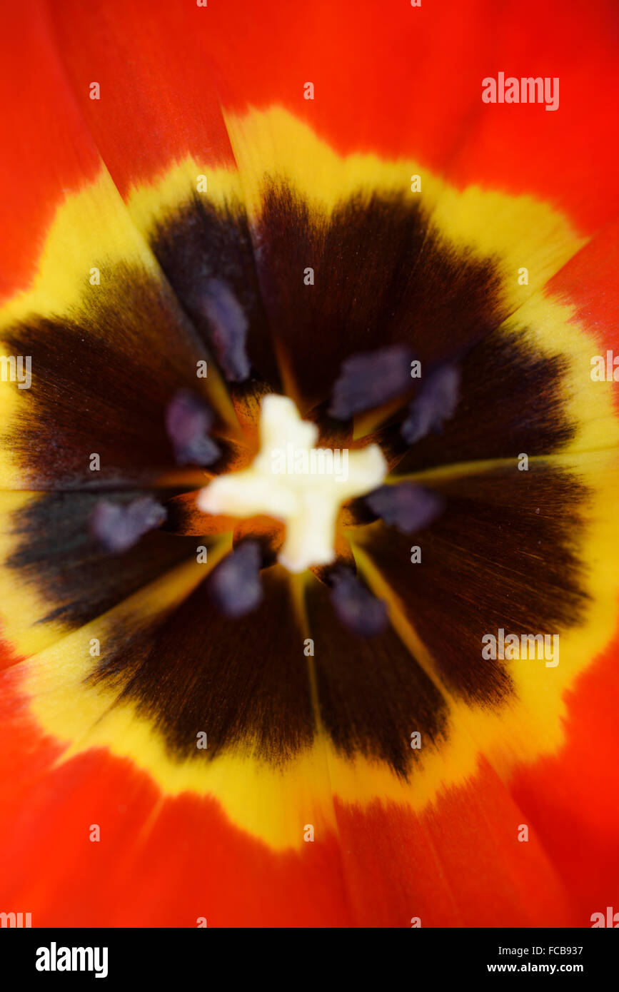 Portrait close up of the inside a tulip flower head with yellow on red starburst pattern - Stock Image