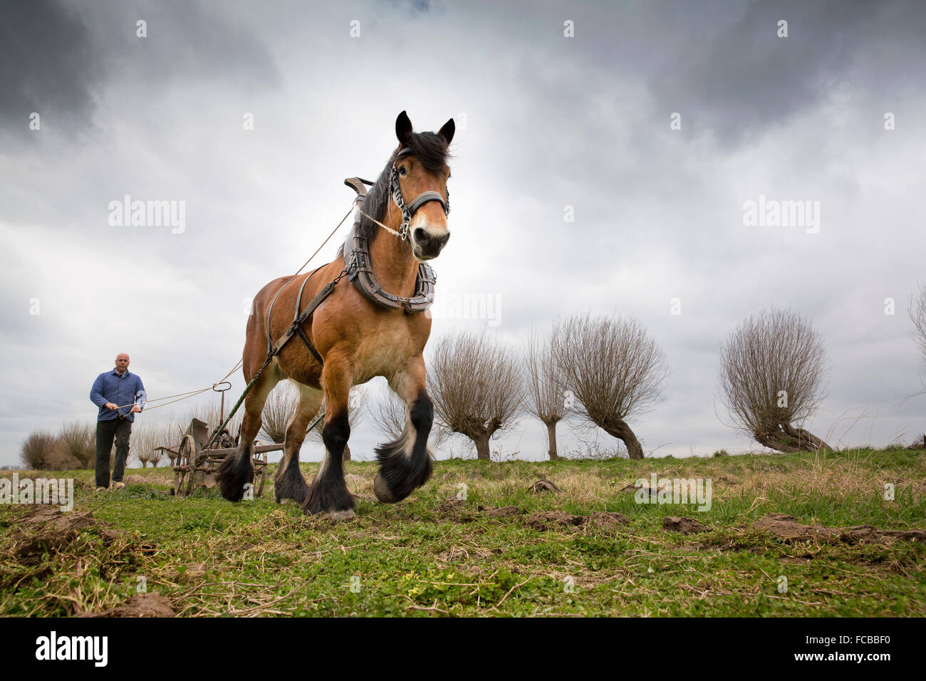 Netherlands, Cadzand, Draft-horse plowing. Re-enactment. Film set - Stock Image