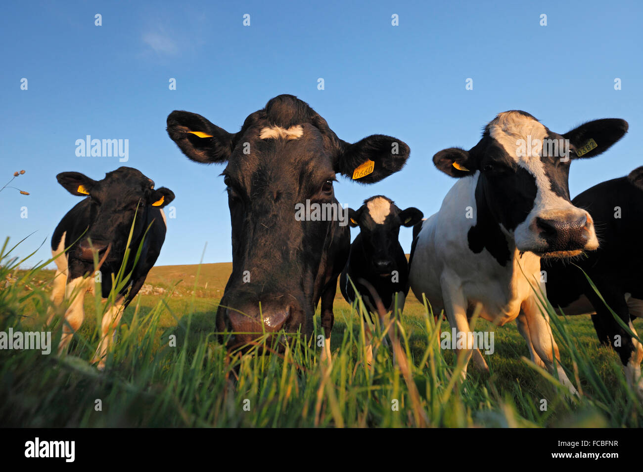 Holstein Cows - Herd of black and white patched cows (Bos taurus) - Stock Image
