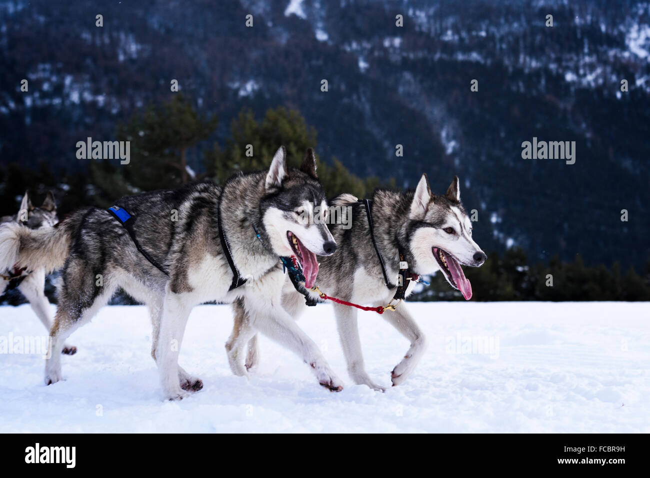 sportive dog team is running in the snow - Stock Image