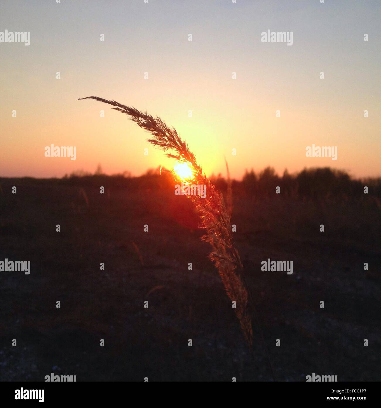 Close-Up Of Stalk In Field Against Sunset - Stock Image