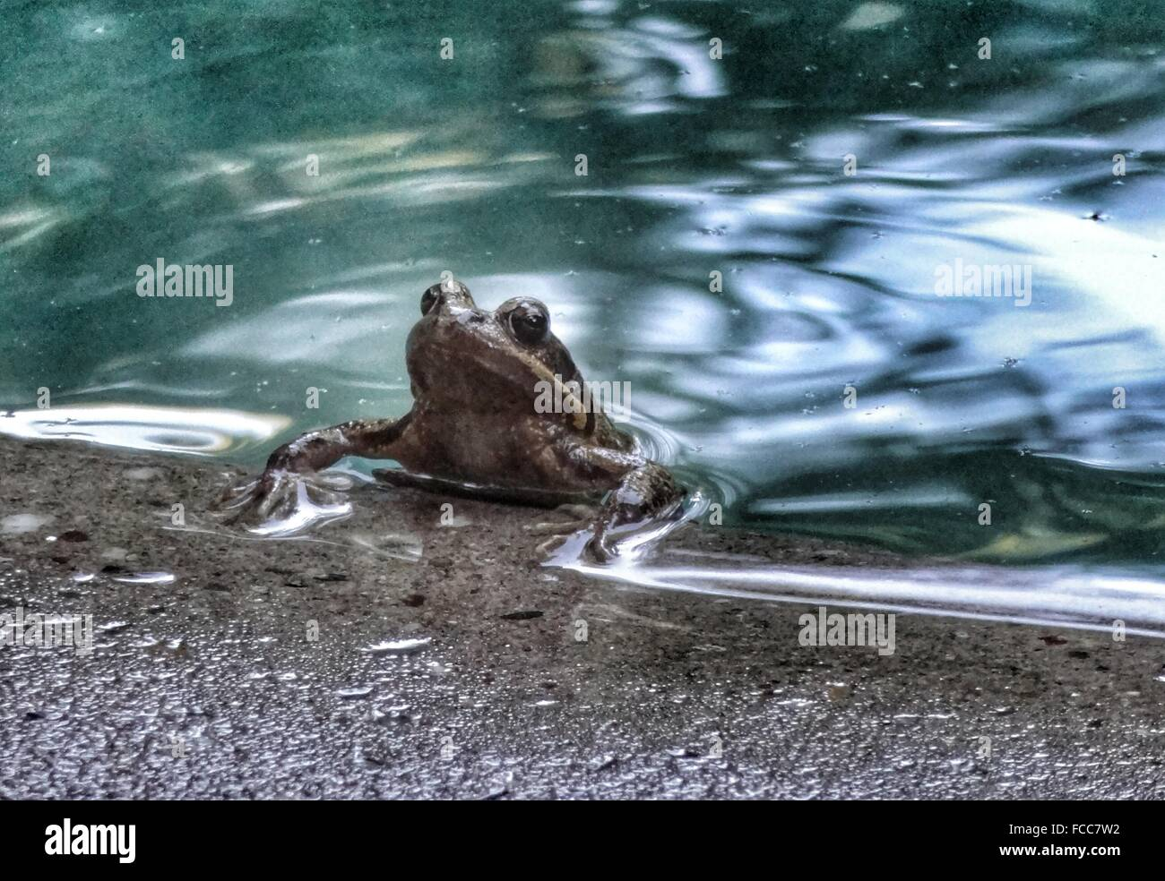Frog Coming Out From Lake - Stock Image