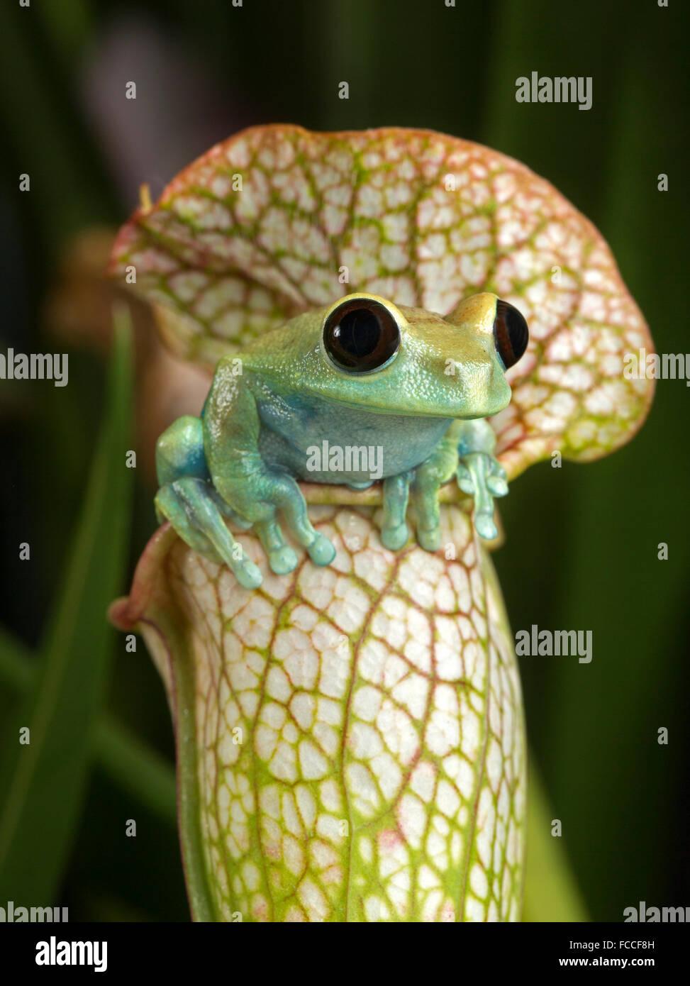 Maroon Eyed Tree Frog on White Pitcher Plant - Stock Image