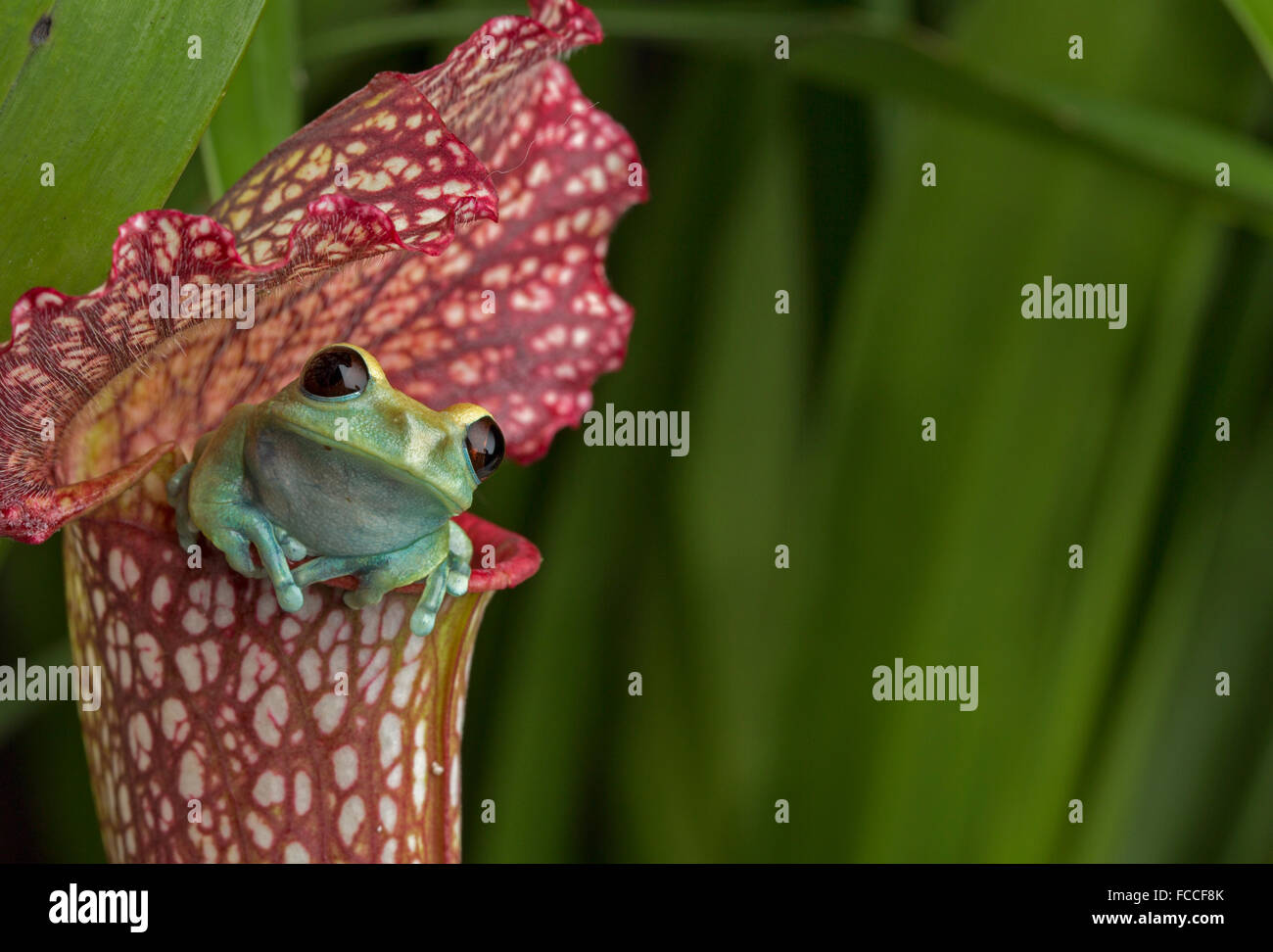 Maroon Eyed Tree Frog on Red Pitcher Plant - Stock Image